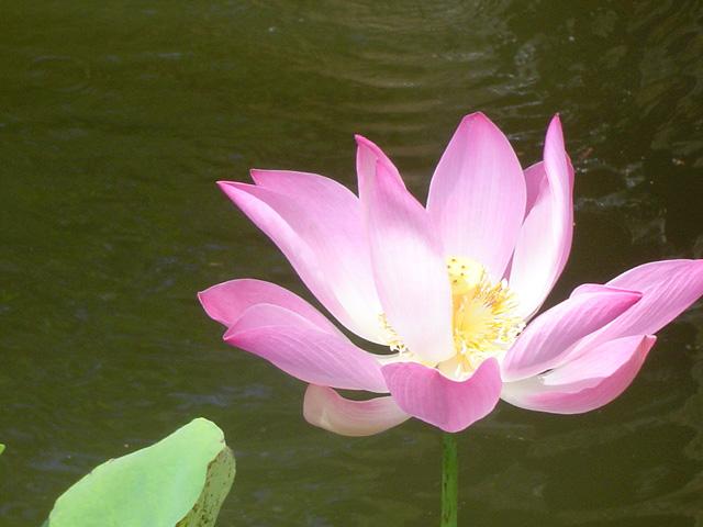 Lotus Bali Garten